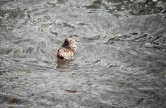 湖に落ちてしまったネズミが1人の女性によって救出されるまでの一部始終をお届けします。