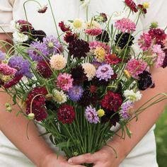 Pincushion Formula Mix Scabiosa (Pincushion Flower)