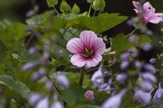 more http://earth66.com/botanical/vulcan-mallow/