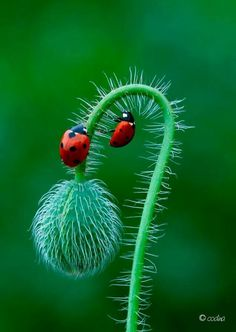 Two lady bugs on a poppy bud.