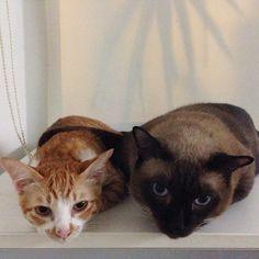 Love - Hug ..., IG: incognito_me #cat #cats #kitten #kittens #kitteh #siamese #sweetboy #meow #ginger #orangecat #boy #girl #love