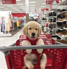 Best Of Cute Golden Retriever Puppies Compilation - Funny Dogs 2018 ⋆ Many Funny Videos Cute Little Animals, Cute Funny Animals, Funny Cute, Funny Dogs, Golden Puppy, Cute Dogs And Puppies, Doggies, Puppies Puppies, Adorable Puppies