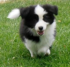 Cute Baby Dogs, Cute Puppies, Dogs And Puppies, Cute Babies, Collie Puppies, Collie Dog, Border Collies, Corgi, Cute Animals