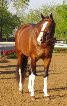 Popeye K 1997 17hh Bay sabino Dutch Warmblood stallion standing at Spencer Ranch.