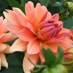 Dahlia 'Melody Dora' | From Stargazer Perennials