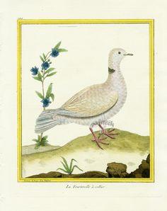 Martinet c1770's: Tourterelle a collier. Collared Dove