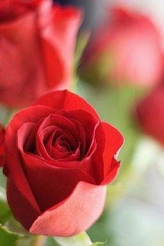 Red Roses Flowers Garden Love