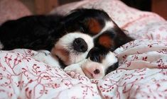 If they aren't corgis they are the next best thing.   How adorable are these two?