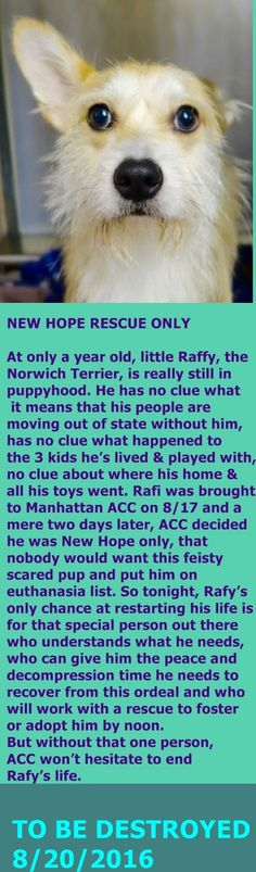 SAFE 8-20-2016 by Amsterdog Animal Rescue --- Manhattan Center RAFY – A1085803  MALE, TAN / WHITE, NORWICH TERRIER MIX, 1 yr OWNER SUR – RESCUEONLY, NO HOLD Reason MOVE2PRIVA Intake condition UNSPECIFIE Intake Date 08/17/2016,   http://nycdogs.urgentpodr.org/rafy-a10858/