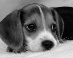 aaawwwwww...beagles just have the sweetest faces