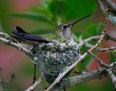 Nesting Anna's Hummingbird by Michael Layefsky on Flickr