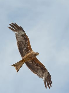 Red Kite by Andrew Chu / 500px
