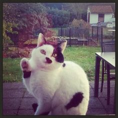 Hitler cat http://catailments1.blogspot.com/2013/12/cat-from-tessenderlo-belgium.html