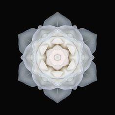 Pure Love ~ Rose essential oil