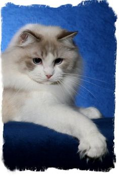 537 Best Ragdoll Kittens images in 2019 | Cats, Kittens, Cats, kittens