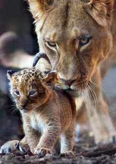 Mom looking after her cub!