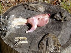 How To Clean Grouse, Duck, Pheasant....