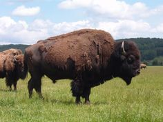 Native+American+Buffalo | ARE YOUR ANIMALS BISON OR BUFFALO?