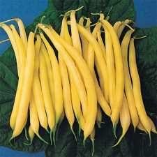 Golden Rod Bush Bean -- family favorite for dilly bean pickles