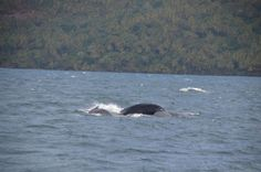 Humpback mother with calf, Dominican Republic.