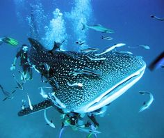 Diving with a Whale Shark - with Big Blue Diving off Koh Tao, Thailand