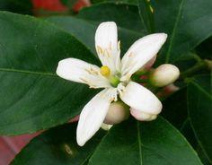 Lemon Tree in Bloom