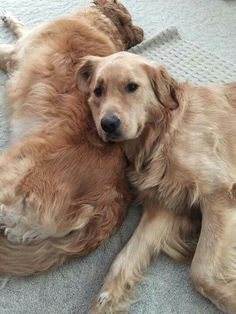 When I get a Golden Retriever, I want him/her to let me lay in him/her. Just my head, but still.