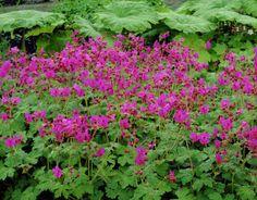 Geranium macrorrhizum 'Bevans Variety' - for dry shade