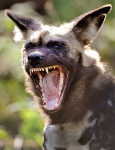 wild African dog~~Would not like to turn around and see this! Dog Yawning, Really Cute Dogs, African Wild Dog, Wild Dogs, African Animals, Hunting Dogs, Beautiful Dogs, Beautiful Creatures, Animal Photography