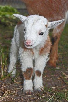 Baby goat aaaaawwwwwwww!
