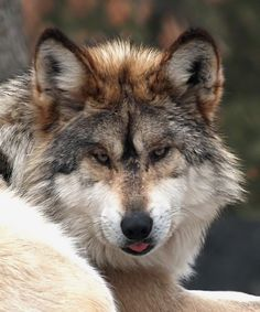 wolf pics | Wolves Italian Wolf