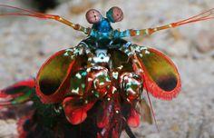 Peacock Mantis Shrimp. Read more: http://montereybayaquarium.tumblr.com/post/52384365014/peacock-mantis-shrimp-hes-baaaaack-tiny