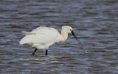 Spoonbill by Brian Anderson http://focusingonwildlife.com/news/wildfocus/featured/spoonbill-2/