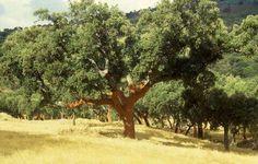 Extremadura prevé una producción normal de corcho de 23 millones de  ... - http://www.dehesasibericas.es/noticias/2014/06/extremadura-preve-una-produccion-normal-de-corcho-de-23-millones-de-kilos/… pic.twitter.com/JuFkumzQZ4