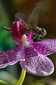Dragonfly on an orchid by Oscar Blanco