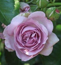 """ Florence Delattre "" (MASflodel) - Generosa Collection - Shrub rose - Mauve or purple blend - Strong, spice fragrance - Dominique Massad (France), 1991"