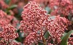 Die hellroten Blütenstände bilden sich schon im Herbst und bleiben den Winter…