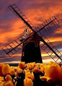 Windmill and tulips in a Holland sunset.even Nature has turned the Oranje for Holland! Places To Travel, Places To See, Travel Destinations, Places Around The World, Around The Worlds, Beautiful World, Beautiful Places, Beautiful Sunset, Simply Beautiful