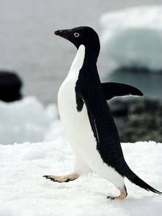 animal Antarctic - Google 検索