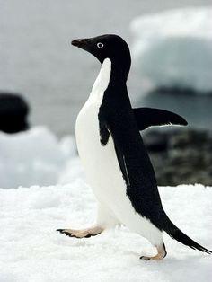 animal Antarctic - Google 検索