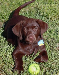 Bella the Labrador Retriever