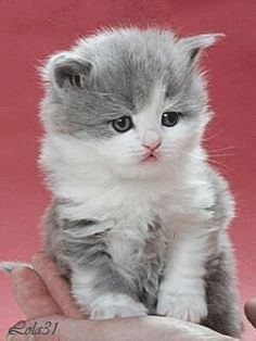 The wonder in her little eyes is simply precious! Cute Kittens, Kittens And Puppies, Baby Kittens, Cats And Kittens, Baby Animals, Cute Animals, Kitten Images, Gato Gif, Foster Kittens