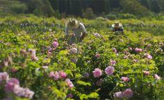 De drie beroemde parfumhuizen in FrankrijkFrankrijk,land vande parfum. Met Parijs als stad waar de meest prestigieuze parfummakers huizenen Grasse, bloemenhoofdstad en parfumspecialisten aan de Côte d'Azur, is Frankijk een waar paradijs voorliefhebbers van geuren en parfum.