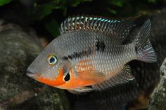 Firemouth Cichlid -- Had one once, he was one mean dude. Tropical Freshwater Fish, Freshwater Aquarium Fish, Saltwater Aquarium, Tropical Fish, Aquarium Pictures, South American Cichlids, Cichlid Fish, Cool Fish, Marine Aquarium