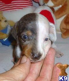 Dalia - Adorable Dapple White Mini Dachshund Girl - Dachshund Puppies for Sale