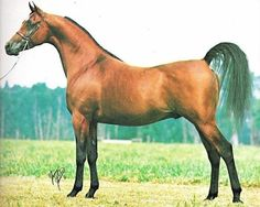 ABENHETEP (*Ibn Hafiza x *Omnia by Alaa El Din) 1976 bay SE stallion bred by Glennloch Farms, Texas