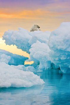 Praia de gelo no Ártico. ... e o urso polar tomando sol ....