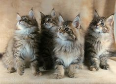 Maine Coon Breeder in Ohio