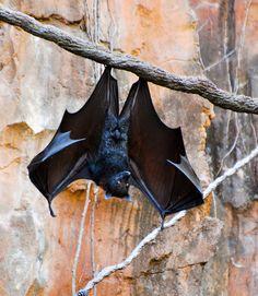 Hanging bats - Google Search