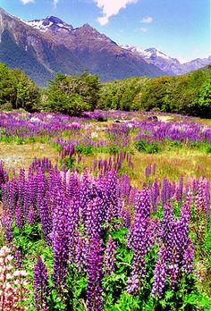 Tremoços selvagens, Nova Zelândia.   Flickr -